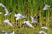 Black Headed Gull — Stock Photo
