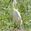 Spoonbill — Stock Photo #14121598