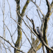 Common Cuckoo — Stock Photo #14122012
