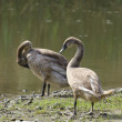 Young Swans — Stock Photo #14918789