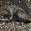 Royalty-Free Stock Photo: Raccoon Dog in autumn