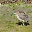 Juvenile black-crowned night-heron — Stock Photo