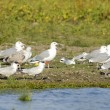 Stock Photo: CaspiTern and Black Headed Gulls