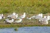 Caspian Tern and Black Headed Gulls — Stock Photo