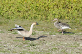 Greylag Goose and Domestic Goose — Stock Photo