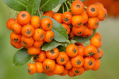 Bright red pyracantha berries — Stock Photo