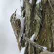 Eurasian Treecreeper — Stock Photo