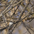 Stock Photo: Lesser Spoted Woodpecker