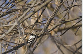 Lesser Spoted Woodpecker — Stock Photo