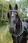 Portrait of a Dutch royal black horse — Stock Photo