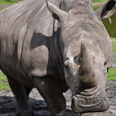 A portrait of a white rhinoceros — Stock Photo