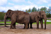 Couple of elephants — Foto de Stock