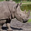 Stock Photo: Profile view of white rhinoceros