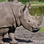 Profile view of a white rhinoceros — Stock Photo