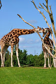 Baringo Giraffes — Stock Photo