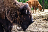 American Bison (bison) mother and calf in Givskud zoo — Stock Photo