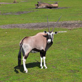 Gemsbok antelope in Givskud zoo, Denmark — Stock Photo