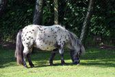 Grazing pony in Givskud zoo,Denmark — Stock Photo