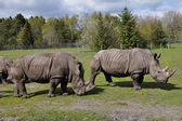 Group of White rhinoceros — Stock Photo