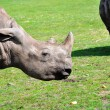 Stock Photo: Profile of white rhinoceros