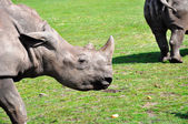 A profile of a white rhinoceros — Stock Photo