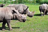 Groupe of a white rhinoceros — Stock Photo