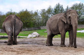 Couple of elephants in Givskud zoo, Denmark — Stock Photo