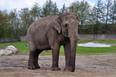 Asian elephant in Givskud zoo, Denmark — Stock Photo