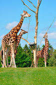 Baringo Giraffes in Givskud Zoo, Denmark — Stock Photo