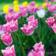 Beautiful spring flowers. Background with pink Tulips — Stock Photo #24753141