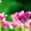 Beautiful spring flowers. Background with pink Tulips — Stock Photo