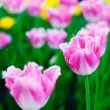 Beautiful spring flowers. Background with pink Tulips — Stock Photo #24753157