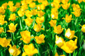 A lot of yellow tulips on a flowerbed in a park — Stock Photo