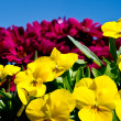 Spring primulas and colorful flower — Stock Photo