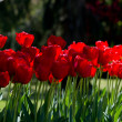 Spring tulips background — 图库照片