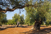 Mediterranean olive field with old olive tree — Stock fotografie