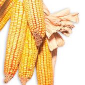 乾燥したトウモロコシ — ストック写真
