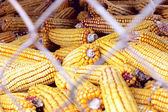 Corn Grouping — Stock Photo
