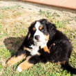 Puppy dog bernese mountain dog in the garden — Stock Photo