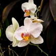 White Orchids — Foto Stock
