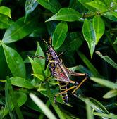 Multicolored Grasshopper — Stock Photo