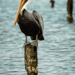 Brown Pelican — Stock Photo