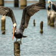 Stockfoto: Brown PelicLanding