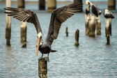 Brown Pelican Landing — Stock Photo