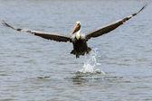 Brown Pelican Landing — Stock Photo