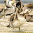 Stockfoto: Brown Pelican