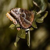 Common Buckeye Butterfly — Stock Photo