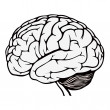 Human brain — Stock Vector