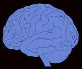 Model of human brain — Stock Vector