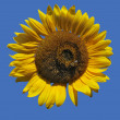 Golden Isolated Sunflower — Stock Photo #15387299